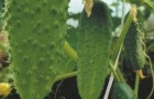 Сорт огурца: Андрюшка f1