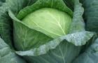Сорт капусты белокочанной: Артост f1