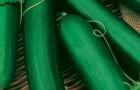 Сорт огурца: Атос f1