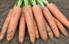 Сорт моркови: Белградо f1
