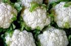Сорт капусты цветной: Белый шар f1