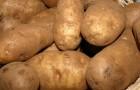 Сорт картофеля: Блакит