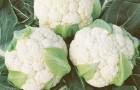 Сорт капусты цветной: Борис f1