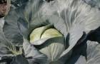 Сорт капусты белокочанной: Бригадир f1