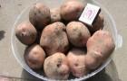 Сорт картофеля: Брянский надежный