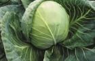 Сорт капусты белокочанной: Бурбон f1