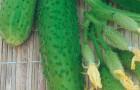 Сорт огурца: Буян f1