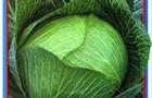 Сорт капусты белокочанной: Чародей f1