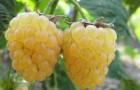 Сорт малины: Челябинская крупноплодная