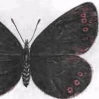 Чернушка хамардабанская
