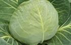 Сорт капусты белокочанной: Дочка f1