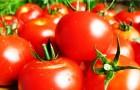 Домашние сорта помидор выведены из генетически неполноценных семян