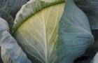 Сорт капусты белокочанной: Доминанта f1