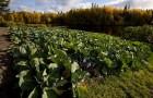 Сорт капусты белокочанной: Джульетта f1
