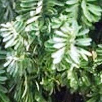 Эуфорбия канделябрум