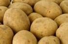 Сорт картофеля: Европрима