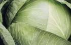 Сорт капусты белокочанной: Фаворит f1