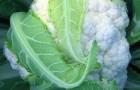 Сорт капусты цветной: Фламенко f1