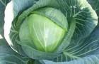 Сорт капусты белокочанной: Фьюрис f1