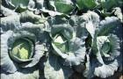 Сорт капусты белокочанной: Габриель f1