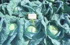 Сорт капусты белокочанной: Газель f1