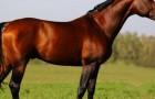 Голланская теплокровная лошадь