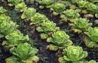 Сорт капусты белокочанной: Голливуд f1