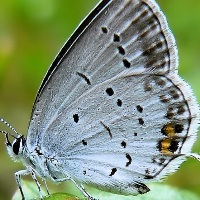 Голубянка аргиад