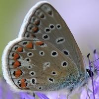 Голубянка чудесная