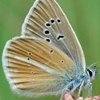 Голубянка дамона