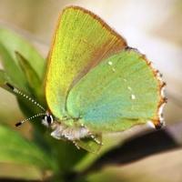 Голубянка малинная, или малинница