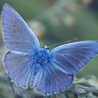 Голубянка пиренеиская
