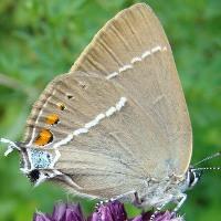Голубянка риппера