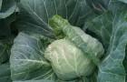 Сорт капусты белокочанной: Горянка 5