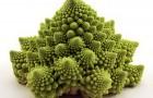 Сорт капусты цветной: Грегор рз f1