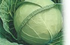 Сорт капусты белокочанной: Харьковская зимняя