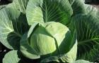 Сорт капусты белокочанной: Харрикейн f1