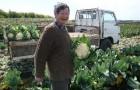 Сорт капусты цветной: Хиспалис f1