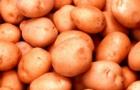 Сорт картофеля: Холмогорский
