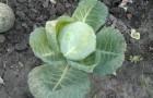 Сорт капусты белокочанной: Хуторок