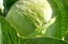 Сорт капусты белокочанной: Илона f1