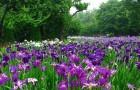 Ирис в саду (1)