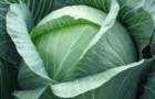 Сорт капусты белокочанной: Итон f1