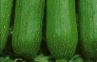 Сорт кабачка: Изумрудный