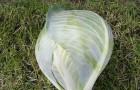 Сорт капусты белокочанной: Кабтон f1