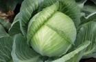 Сорт капусты белокочанной: Каид f1