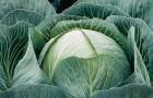 Сорт капусты белокочанной: Калорама f1