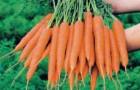 Сорт моркови: Карадек рз f1