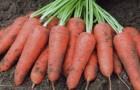 Сорт моркови: Карини