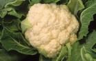 Сорт капусты цветной: Каспер рз f1